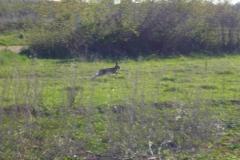 divlji zec_2