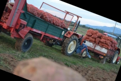 krumpir_6