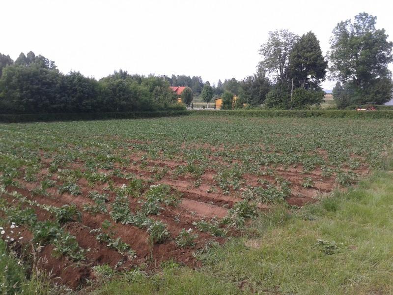 krumpir_11