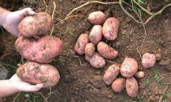 Lički krumpir