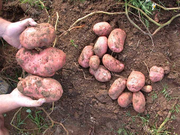 licki-krumpir-vrkljan
